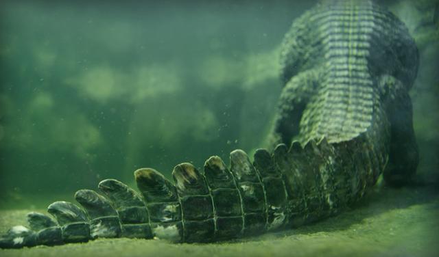 Хвост крокодила